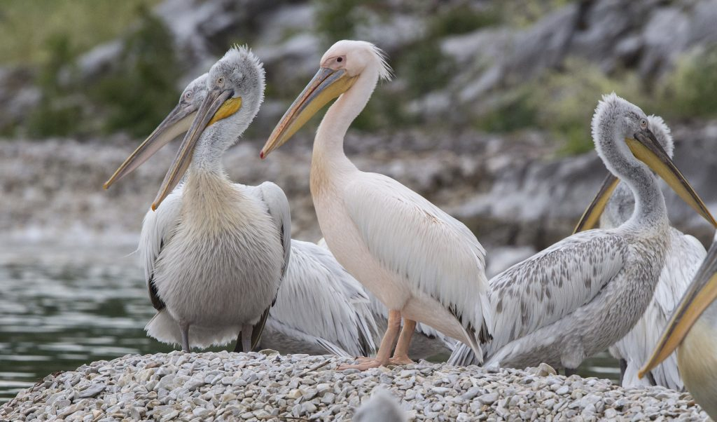 Pelicans masai amara