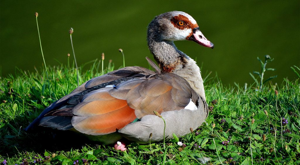 Egyptian goose masai mara