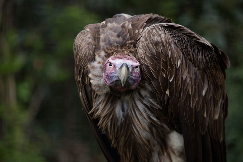 The lappet-faced vulture