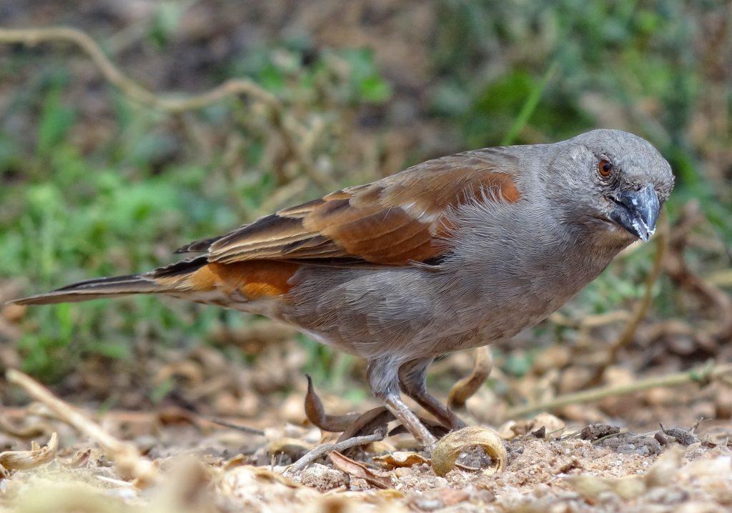 parrot billed sparrow MASAI MARA