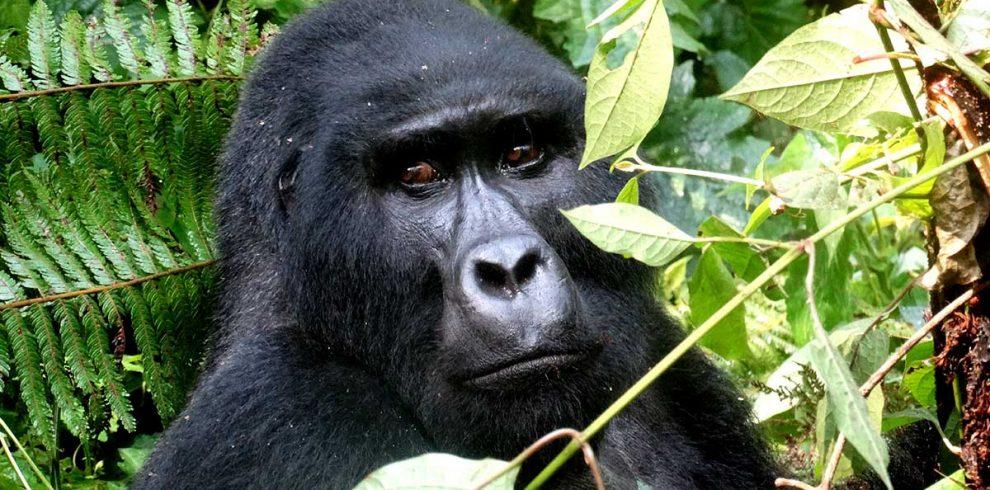 Bweza-Gorilla-Family