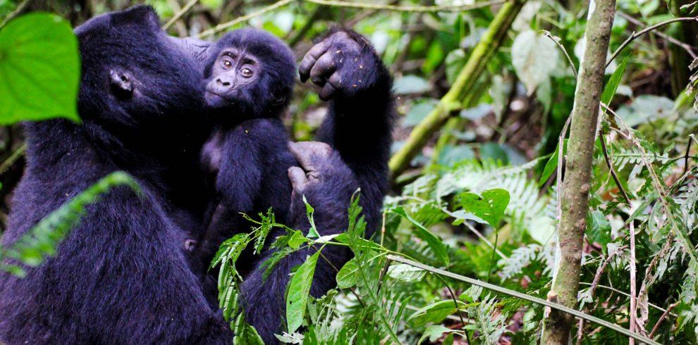 gorilla trekking jk