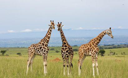 15 Days Ultimate Uganda Experience Safari