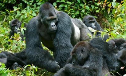 5 Days Chimpanzee & Gorilla trekking safari Uganda