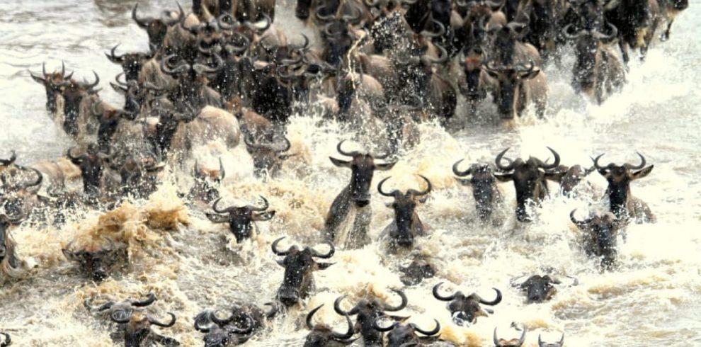 mara-river-crossing-wildebeest-migration-safari