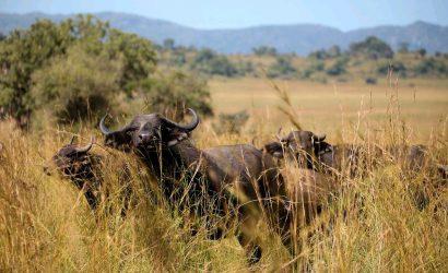 8 day ugandan safari